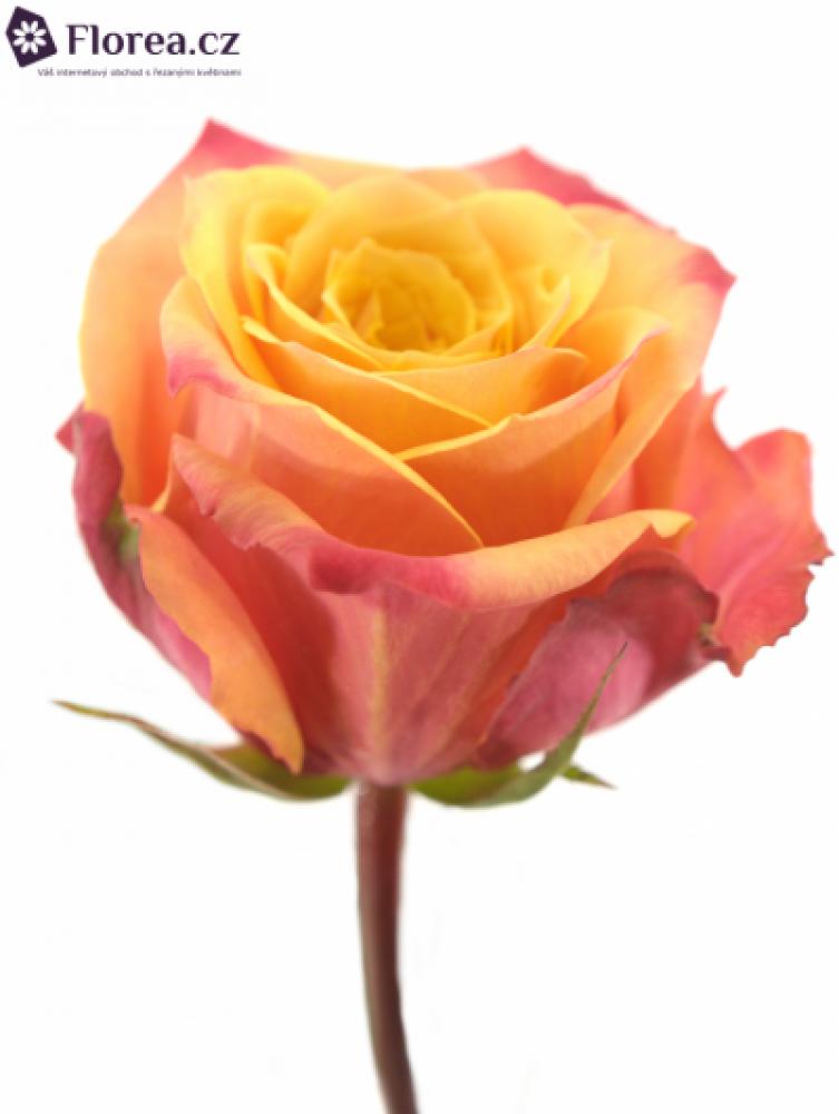 Oranžová růže FIREBALL 70cm (XL)
