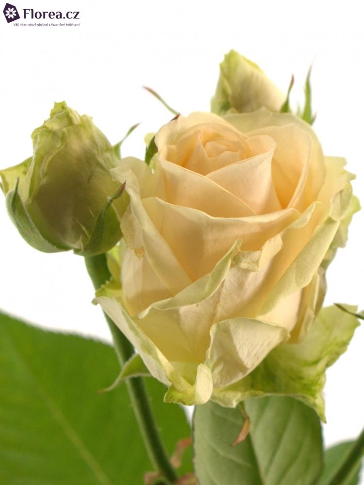 Krémová růže AVALANCHE PEACH+ 80cm/3+(S)