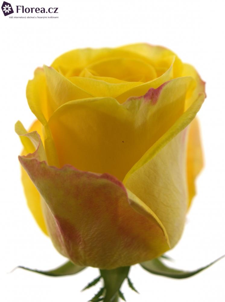 Žlutá růže POKERFACE 80cm (XL)