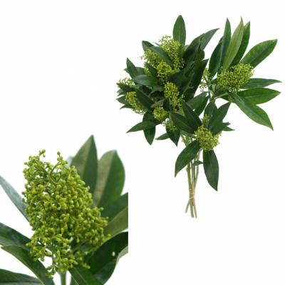 SKIMMIA KEW GREEN 40cm
