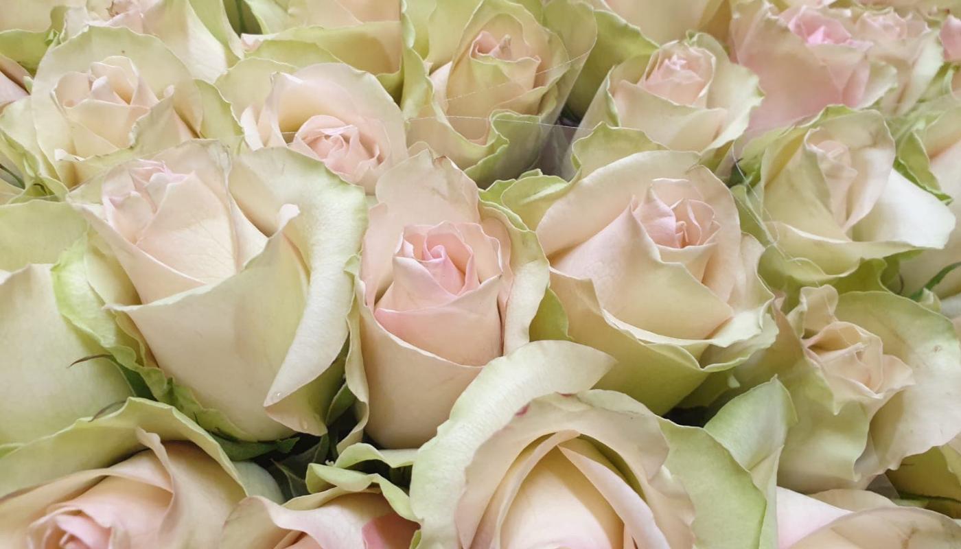 Růže La Belle