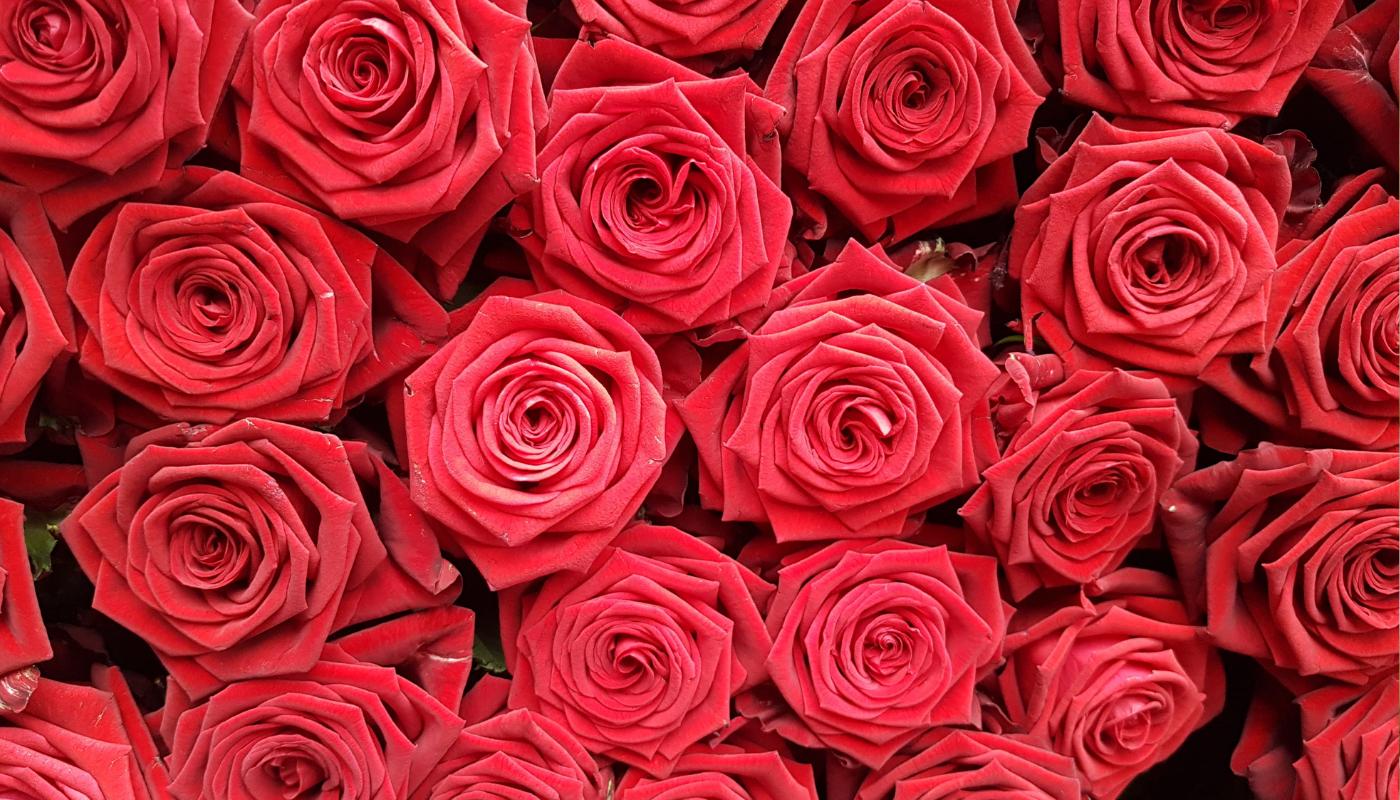 Růže Testarossa