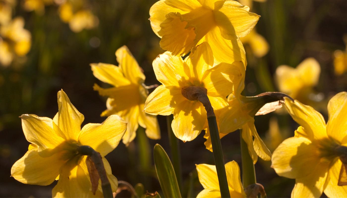 Žlutý narcis