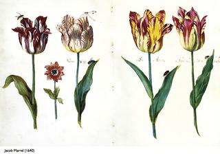 historie-tulipanu-florea.jpg (53 KB)