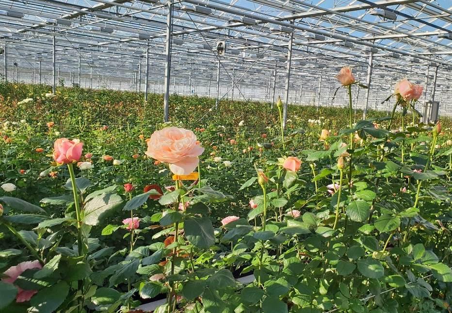 skleniky-vip-roses.jpg (178 KB)