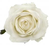 Růže Avalanche
