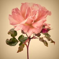 Růže a jejich historie: symbol války i lásky