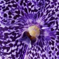 Vanda - exkluzivní orchidej pro náročné