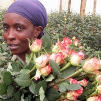 Čerstvé řezané růže z Keni