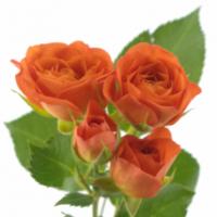 Vícekvěté růže