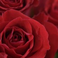 Jak dlouho vydrží růže?