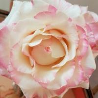 Rozdíly mezi holandskými a africkými růžemi