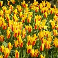 Tulipánová sezóna je v plném proudu