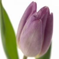 Podpořte s námi Tulipánový měsíc pro Amelie, z.s.