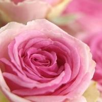 Druhý díl: levné růže versus luxusní růže
