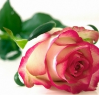 Díl první: Co ovlivňuje ceny růží