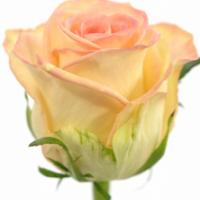 Díl druhý: Co ovlivňuje ceny růží