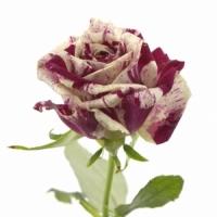 Množení růží: máme návod přímo od vás!