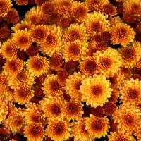 Podzimní květiny do vázy