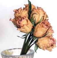 Jak usušit růže