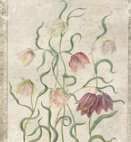 Historie tulipánů