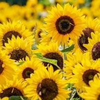 Proč se slunečnice otáčí za sluncem?