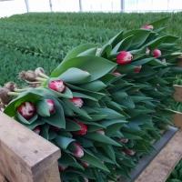 Jak se dnes pěstují tulipány v Holandsku?