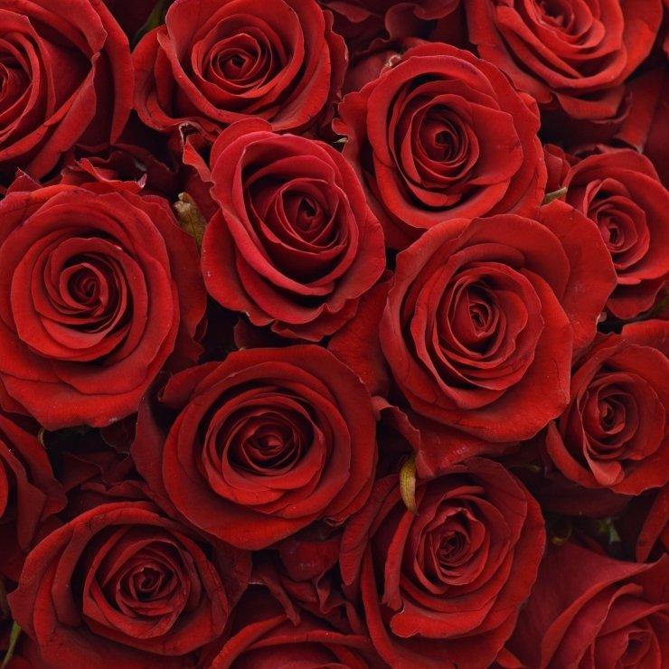 Red Eagle - červená růže od jediného pěstitele na světě