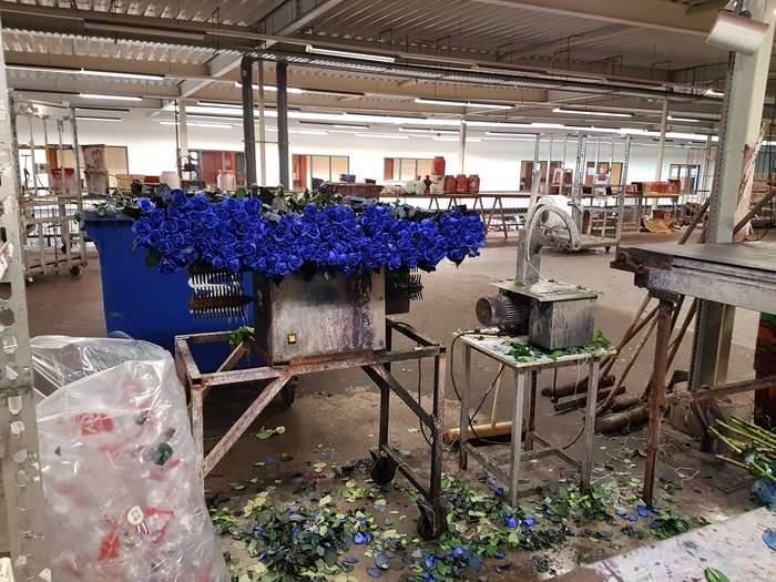 Modré růže - barvící linka v Nizozemsku
