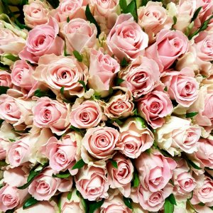 Růžové růže Athena