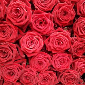Růže Testarossa Cover