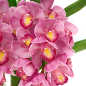Orchidej člunatec
