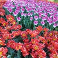 Tulipány v Keukenhofu