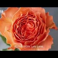 Řezané růže
