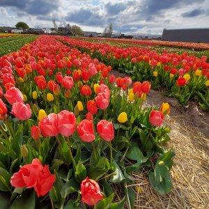 Tulipánová pole před Dnem matek 2021