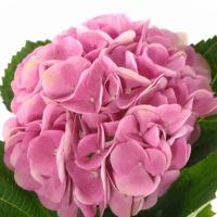 Hortenzie
