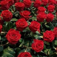 Levné růže