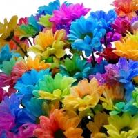 Farbená chryzantéma