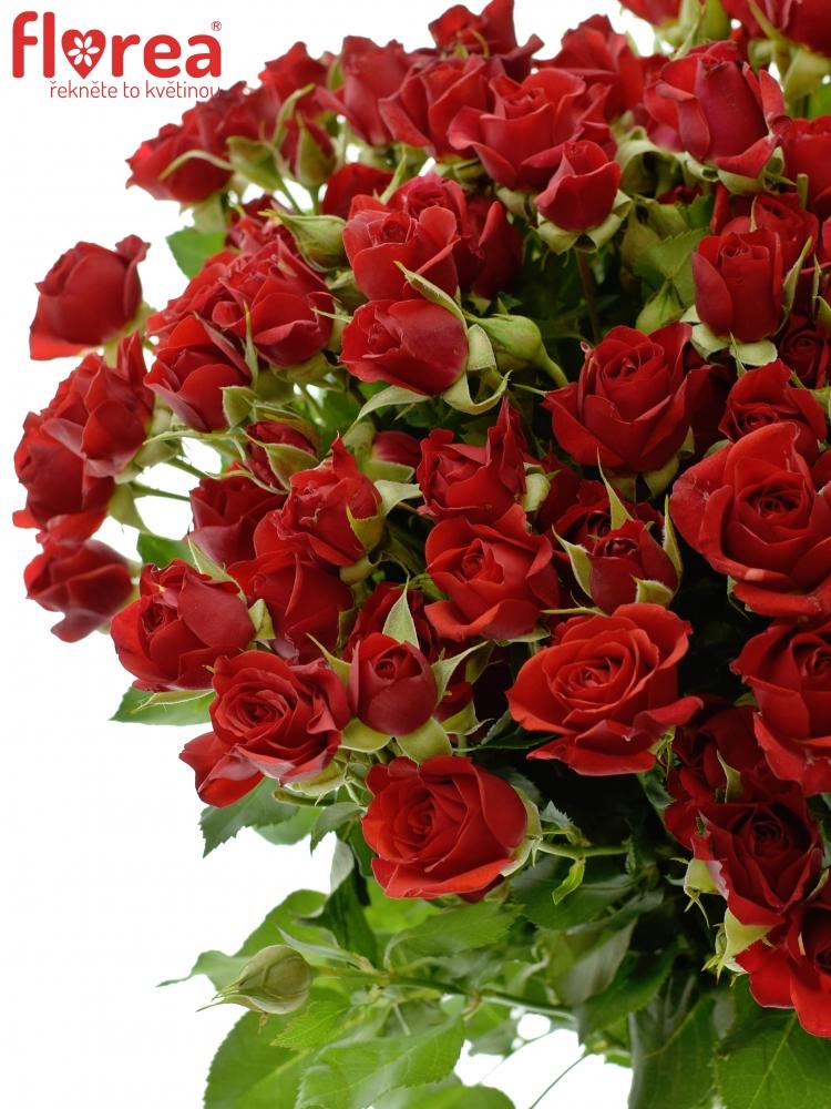 Červená růže MIRABEL 50cm/4+