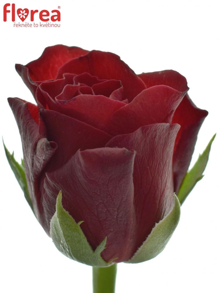 Červená růže TORERO 40cm (S)