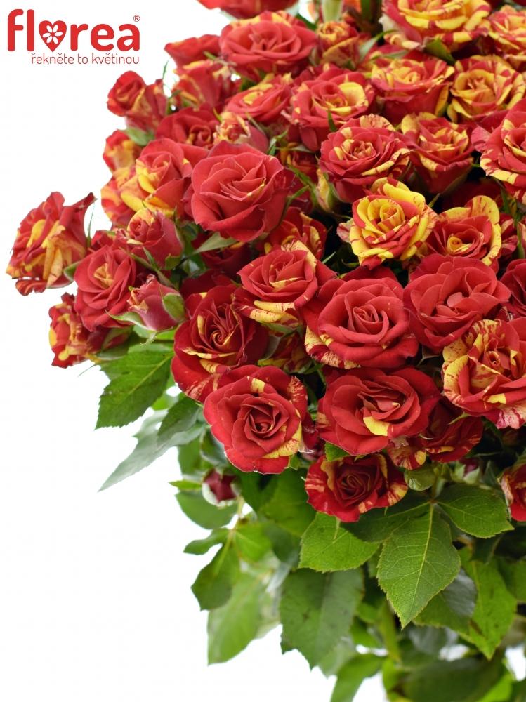 Červenožlutá růže FIRE FLASH 50cm/4+