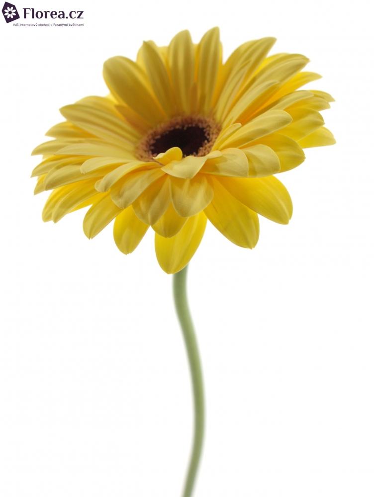 Gerbera Gr Mojito 10cm Florea