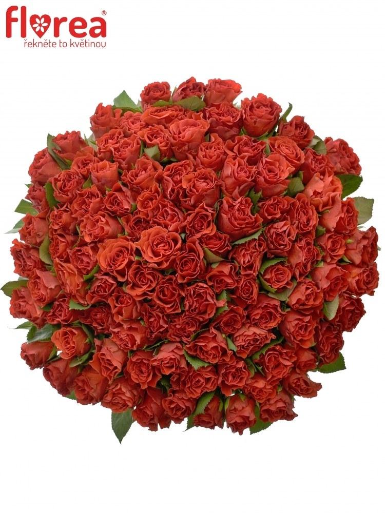 Kytice 100 červených růží EL TORO 40cm (S)