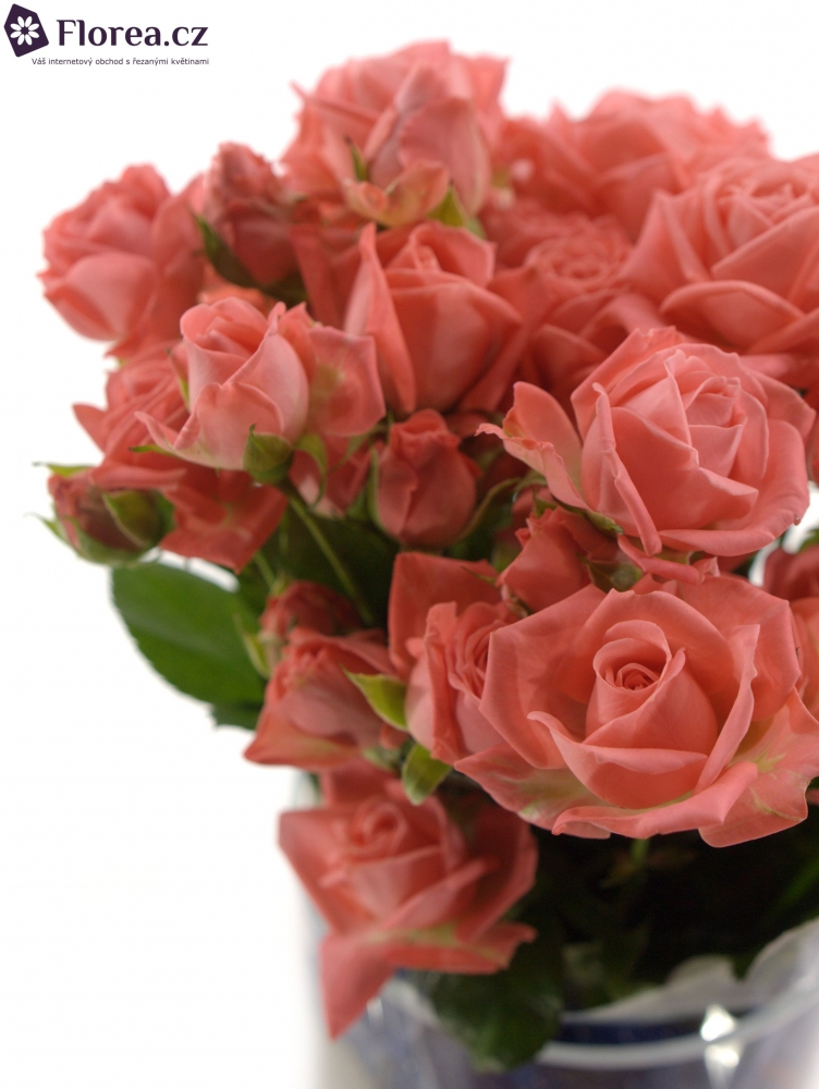 Meruňková růže BARBADOS 50cm/3+
