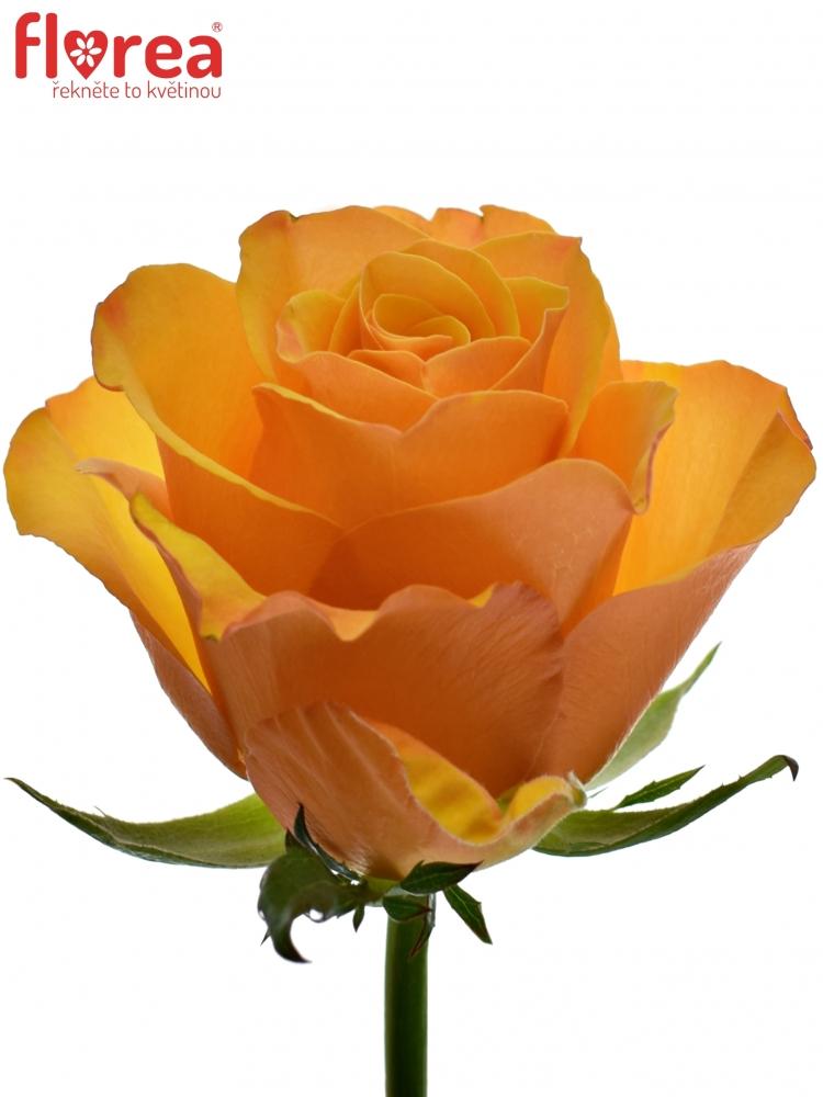 video oranžové růže