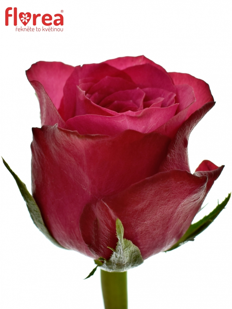 Fialová růže GRAND EUROPE 60cm (M)