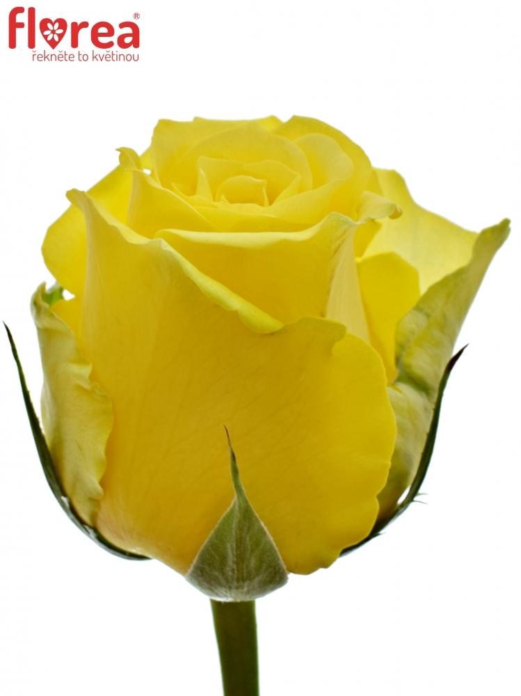 Žlutozelená růže LIMELIGHT 90cm (XL)