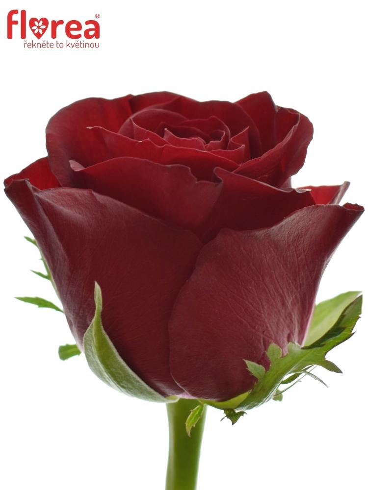 Rudá růže BURGUNDY 70cm (M)