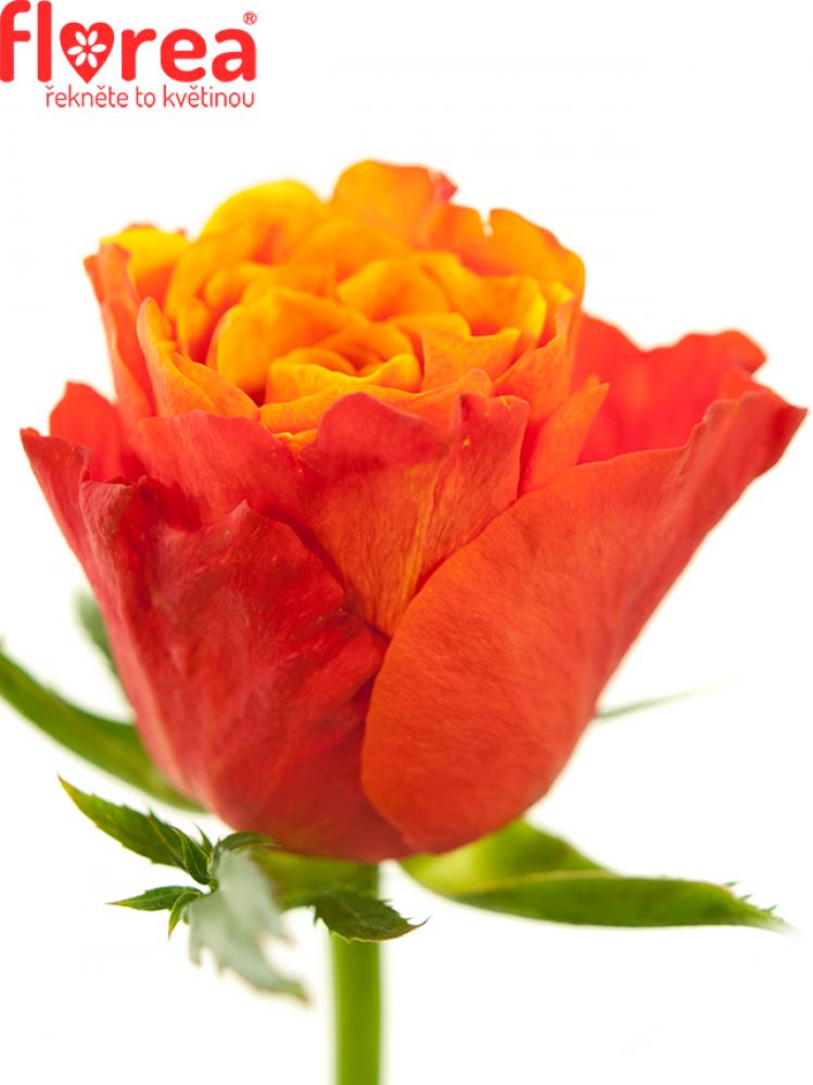 Oranžovočervená růže ALTAMODA 60cm (L)