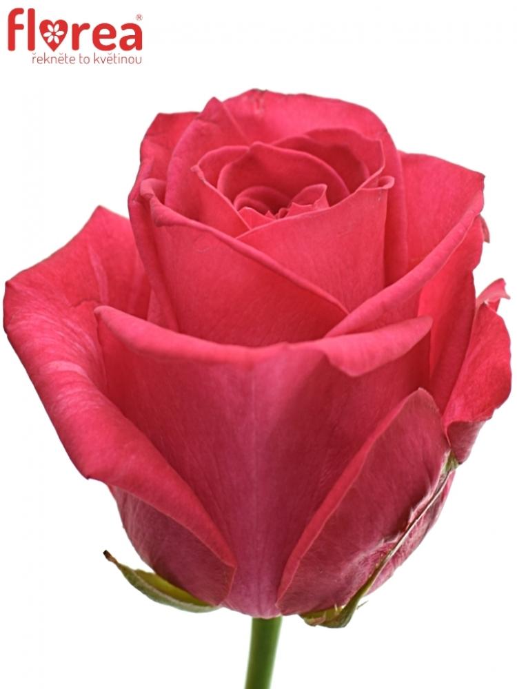 Růžová růže IVY+ 60cm (XL)